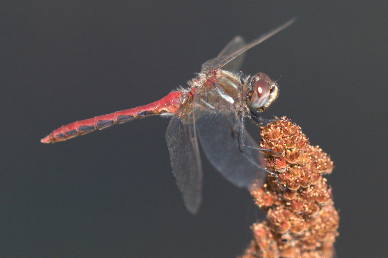 Striped Meadowhawk (Sympetrum pallipes) Conboy