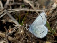 Silvery Blue (Glaucopsyche lydamus) 238