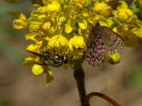 Western Pine Elfin and wasp on Oregon Grape