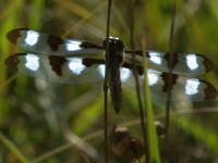 male Twelve-spotted Skimmer Dragonfly (Libellula pulchetta) at Conboy