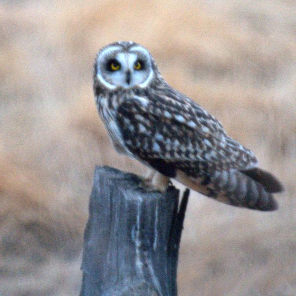 Owl at Malheur Harney County