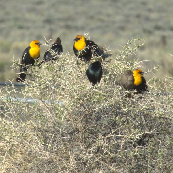 Yellow headed blackbird (Xanthocephalus xanthocephalus)