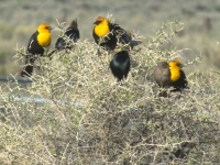 Yellow headed blackbird (Xanthocephalus xanthocephalus)