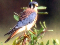 American Kestrel (Falco sparverius) Ridgefield NWR