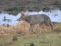 Coyote (Canis latrans) Ridgefield