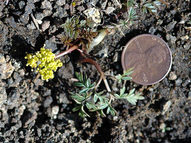 Lomatium coos
