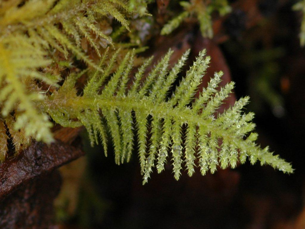 Moss,, Beaver Creek