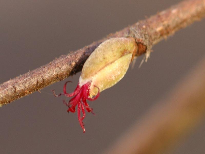 Hazelnut bloom