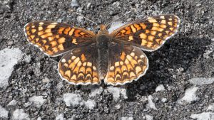 Chlosyne palla Northern Checkerspot Jones Canyon, Deschutes River, Sherman County, OR